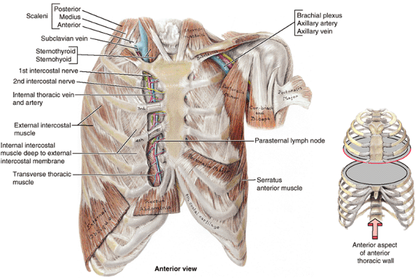What Happens Behind The Sternum