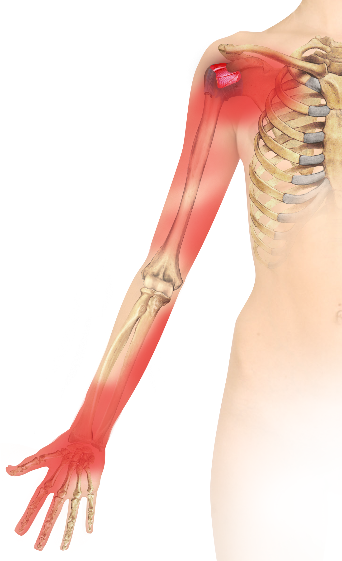 External rotation of the glenohumeral joint: Ligament restraints and ...