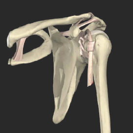 Anatomy of Costoclavicular Ligament