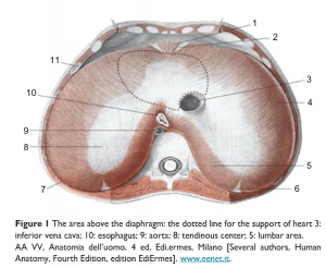 The Diaphragm Connects to the…. EVERYTHING!